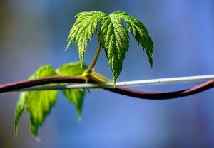 Hop Leaf Plant Tendril Nature  - Lakeblog / Pixabay