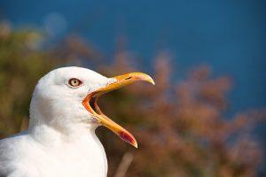 Seagull Bird Beak Feathers Plumage  - sitoruiz / Pixabay