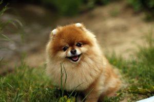 Dog Puppy Fluffy Grass Spitz - Grigorijkalyuzhnyj / Pixabay