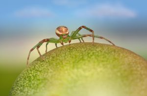Green Crab Spider Spider Insect  - Erik_Karits / Pixabay