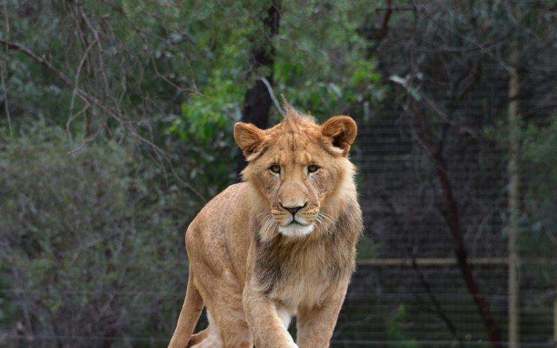 Lion Wildlife Zoo Animal Nature  - KathyB-Photos / Pixabay