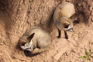 Fox Couple Mammal Pair Wildlife  - DesmondTwo2 / Pixabay